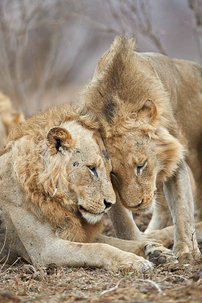 Two Lion (Panthera leo) greeting each other, Kruger National Park, South Africa
