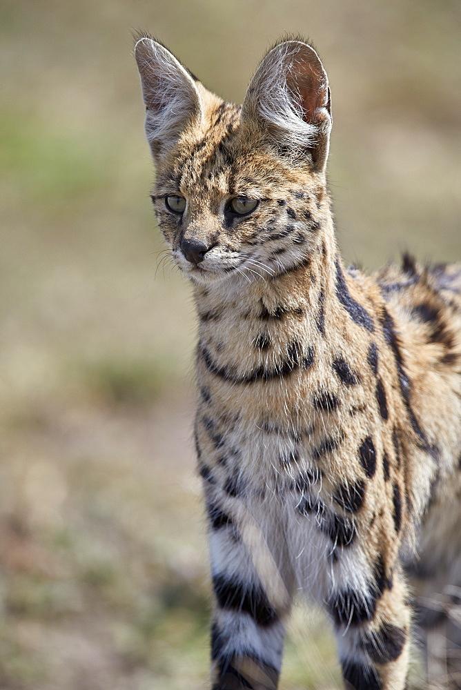 Serval (Felis serval), Ngorongoro Conservation Area, Tanzania, East Africa, Africa