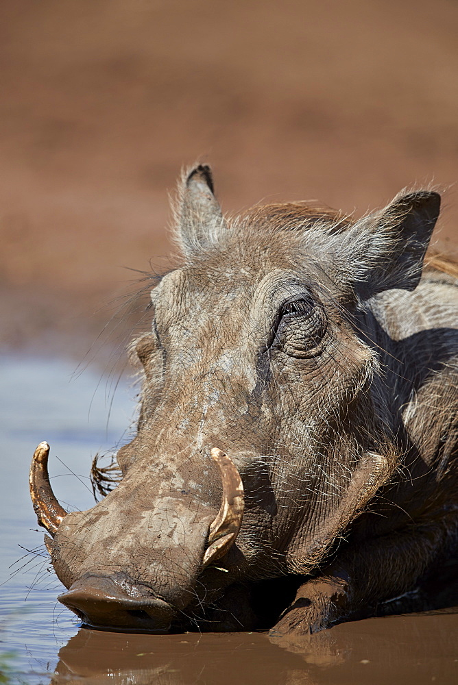 Stock nature photo: Warthog in mud