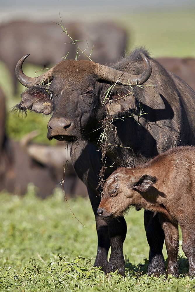 Cape buffalo (African buffalo) (Syncerus caffer) cow and calf, Ngorongoro Crater, Tanzania, East Africa, Africa
