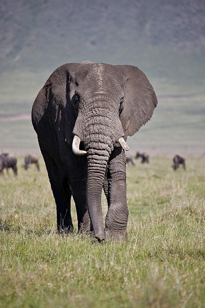African elephant (Loxodonta africana) bull, Ngorongoro Crater, Tanzania, East Africa, Africa - 764-5856