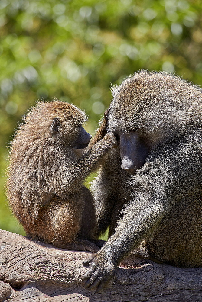 Olive Baboon (Papio cynocephalus anubis) juvenile grooming an adult male, Ngorongoro Crater, Tanzania
