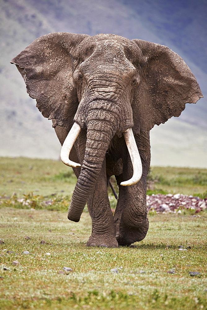 African Elephant (Loxodonta africana) bull, Ngorongoro Crater, Tanzania - 764-5863
