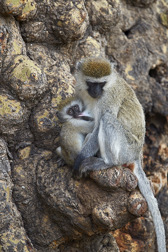 Vervet Monkey (Chlorocebus aethiops) mother nursing her infant, Ngorongoro Crater, Tanzania