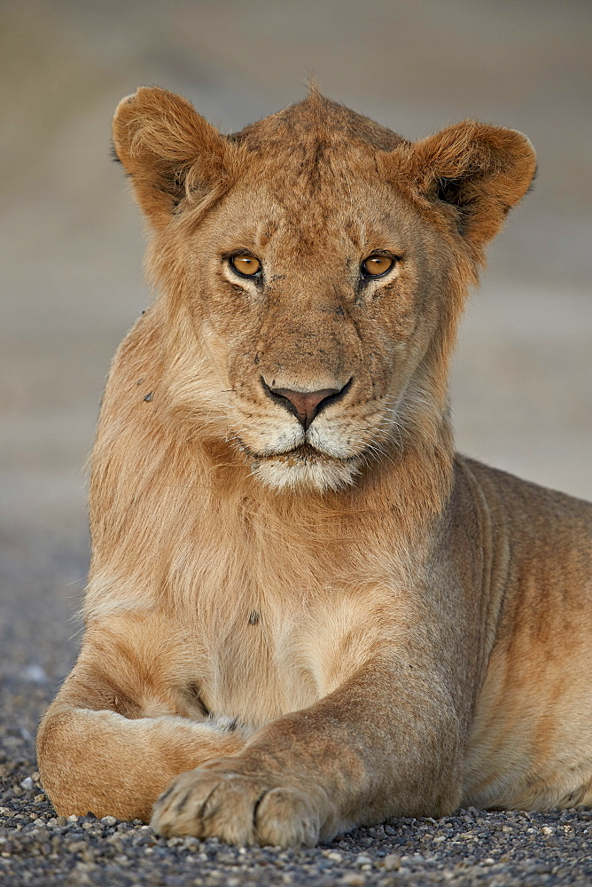 Young male Lion (Panthera leo), Serengeti National Park, Tanzania