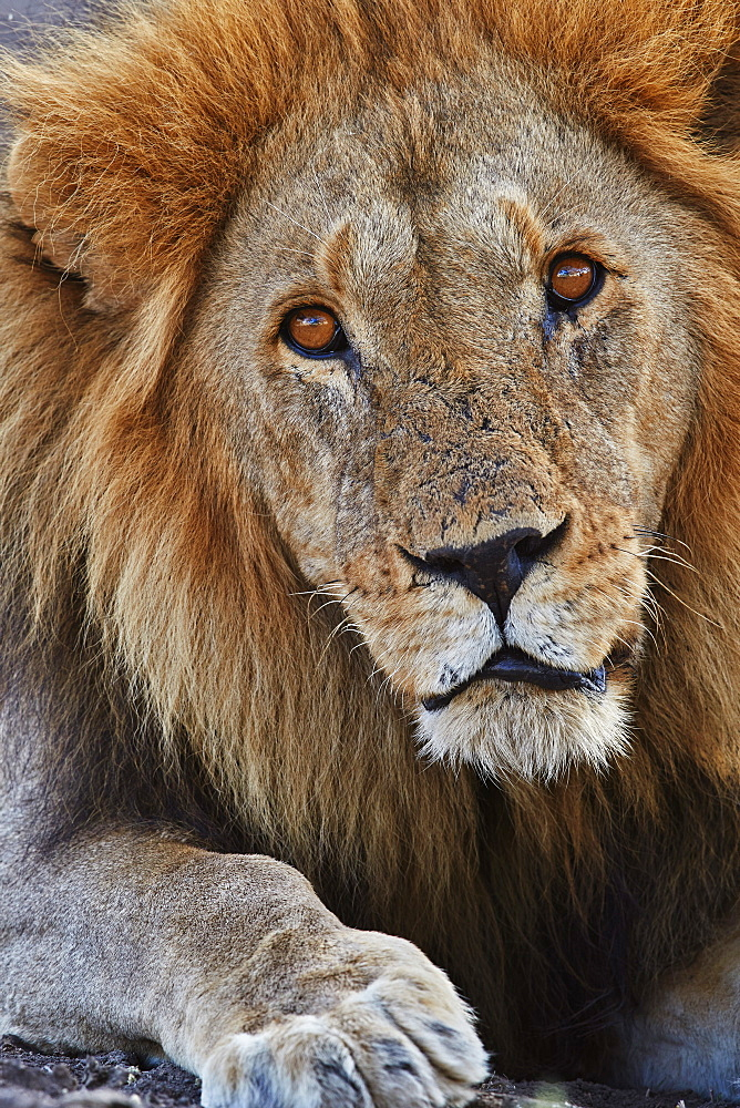 Lion (Panthera leo), Serengeti National Park, Tanzania, East Africa, Africa