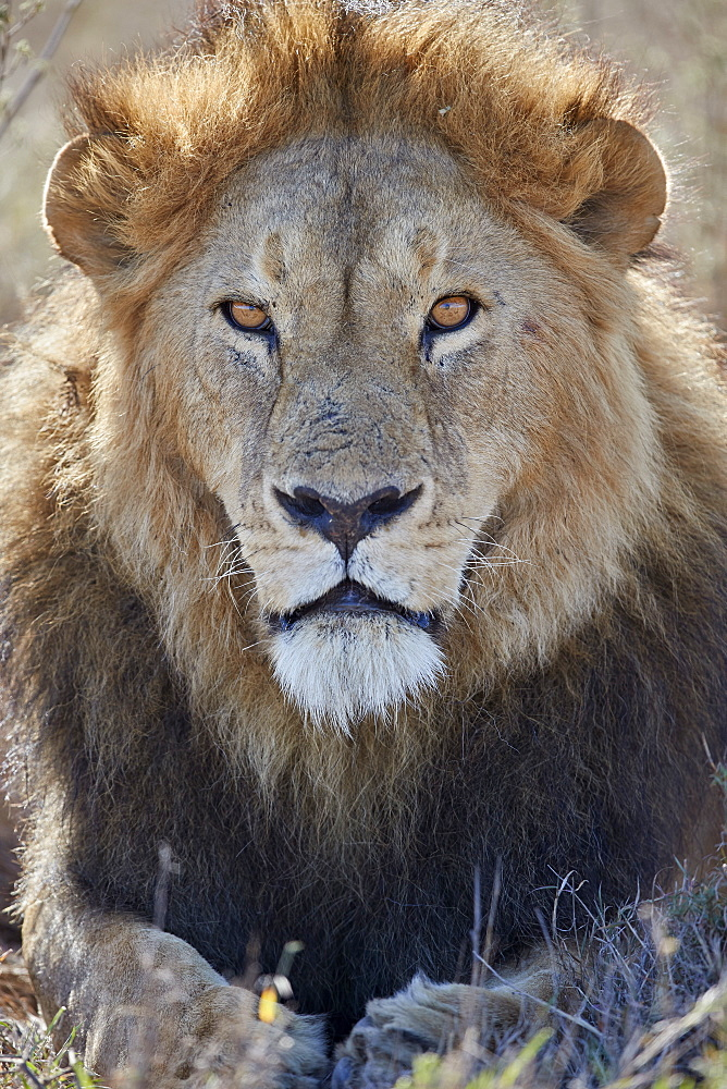 Lion (Panthera leo), Ngorongoro Conservation Area, Tanzania - 764-5905