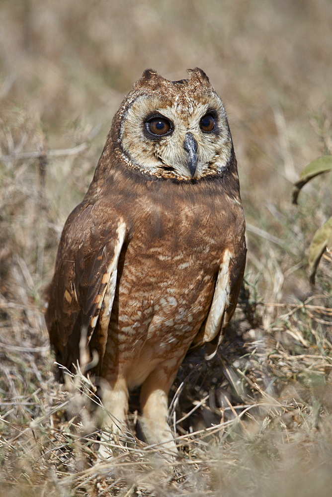 Marsh Owl (Asio capensis), Ngorongoro Conservation Area, Tanzania, East Africa, Africa