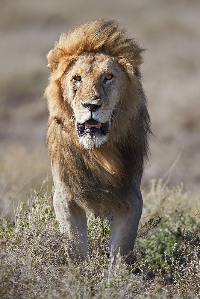 Lion (Panthera leo), Ngorongoro Conservation Area, Tanzania - 764-5907