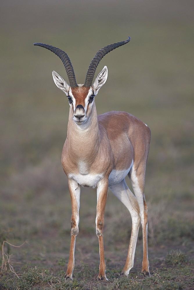 Grant's Gazelle (Gazella granti) buck, Ngorongoro Conservation Area, Tanzania, East Africa, Africa