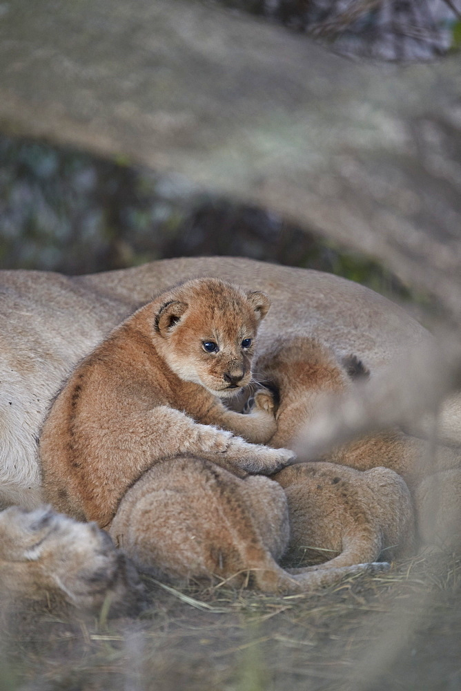 Lion (Panthera leo) cubs about four weeks old, Ngorongoro Conservation Area, Tanzania, East Africa, Africa - 764-5920