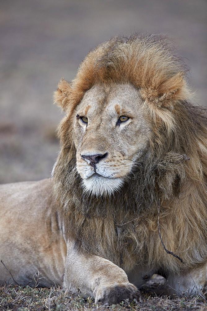 Lion (Panthera leo), Ngorongoro Conservation Area, Tanzania - 764-5922