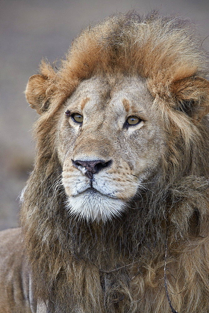 Lion (Panthera leo), Ngorongoro Conservation Area, Tanzania - 764-5925