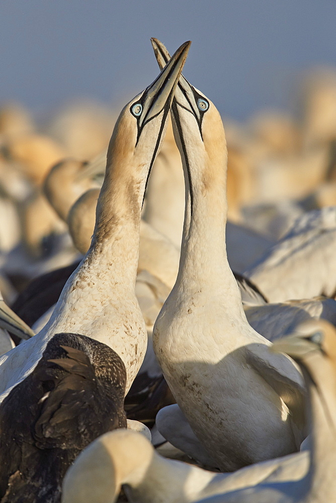 Cape Gannet (Morus capensis) pair necking as part of courtship, Bird Island, Lambert's Bay, South Africa, Africa - 764-5928