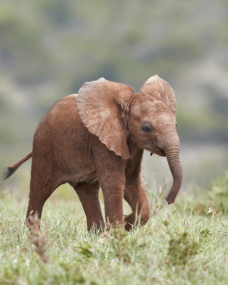 African Elephant (Loxodonta africana), baby running with its ears out, Addo Elephant National Park, South Africa, Africa - 764-5931