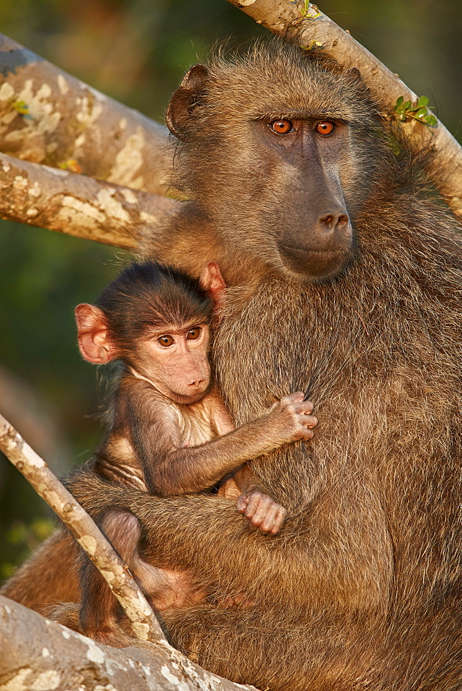 Chacma Baboon (Papio ursinus) mother and infant, Kruger National Park, South Africa, Africa - 764-5934