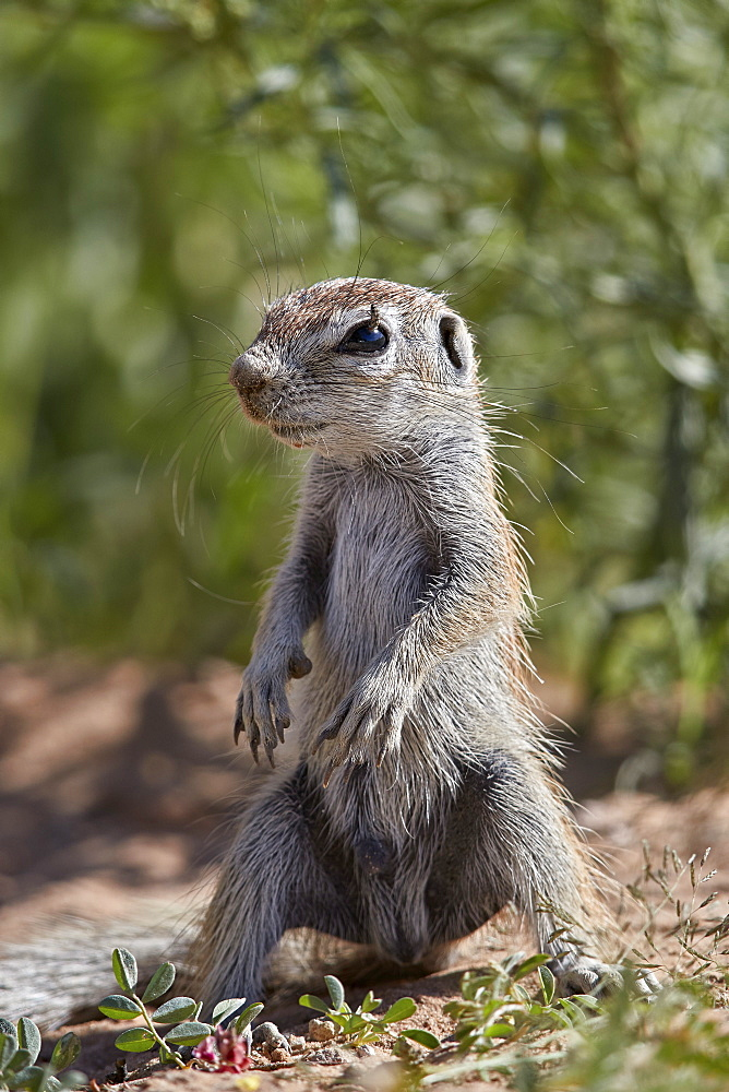 Cape ground squirrel (Xerus inauris), juvenile, Kgalagadi Transfrontier Park, South Africa, Africa - 764-5956