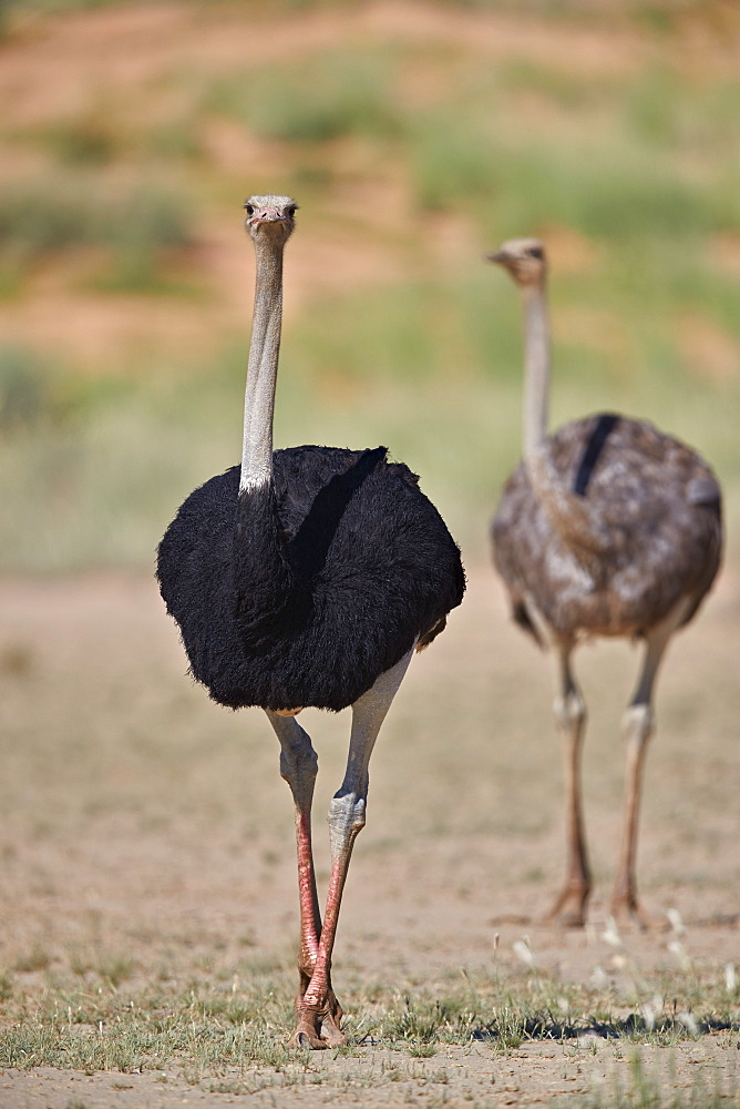Common Ostrich (Struthio camelus), male in breeding plumage with female, Kgalagadi Transfrontier Park, South Africa
