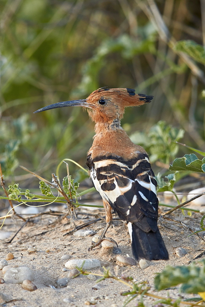 African Hoopoe (Upupa africana), Kgalagadi Transfrontier Park, South Africa - 764-5961
