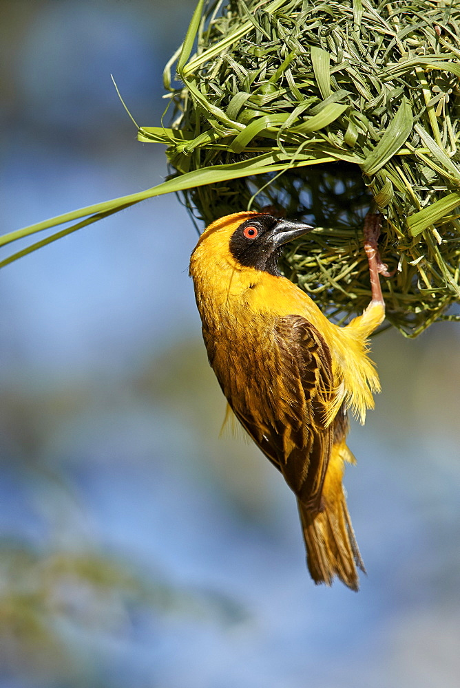 Southern Masked Weaver (Ploceus velatus), male building a nest, Kgalagadi Transfrontier Park, South Africa - 764-5964
