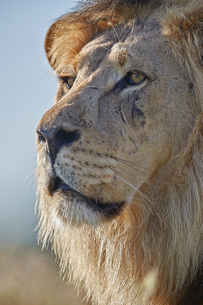 Lion (Panthera leo), Kgalagadi Transfrontier Park, South Africa, Africa