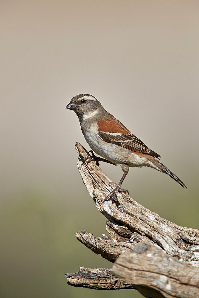 Great Sparrow (Passer motitensis), female, Kgalagadi Transfrontier Park, South Africa