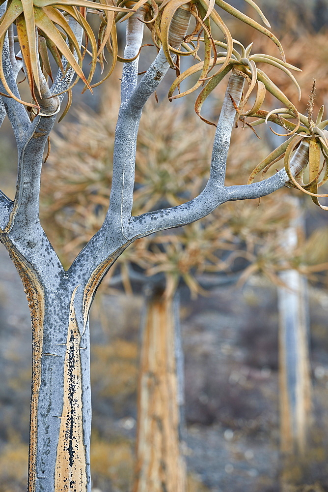 Quiver Tree or Kokerboom (Aloe dichotoma), Gannabos, Namakwa, Namaqualand, South Africa