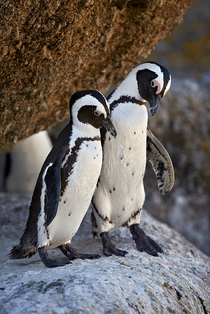 African Penguin (Spheniscus demersus) pair, Simon's Town, near Cape Town, South Africa, Africa - 764-5990
