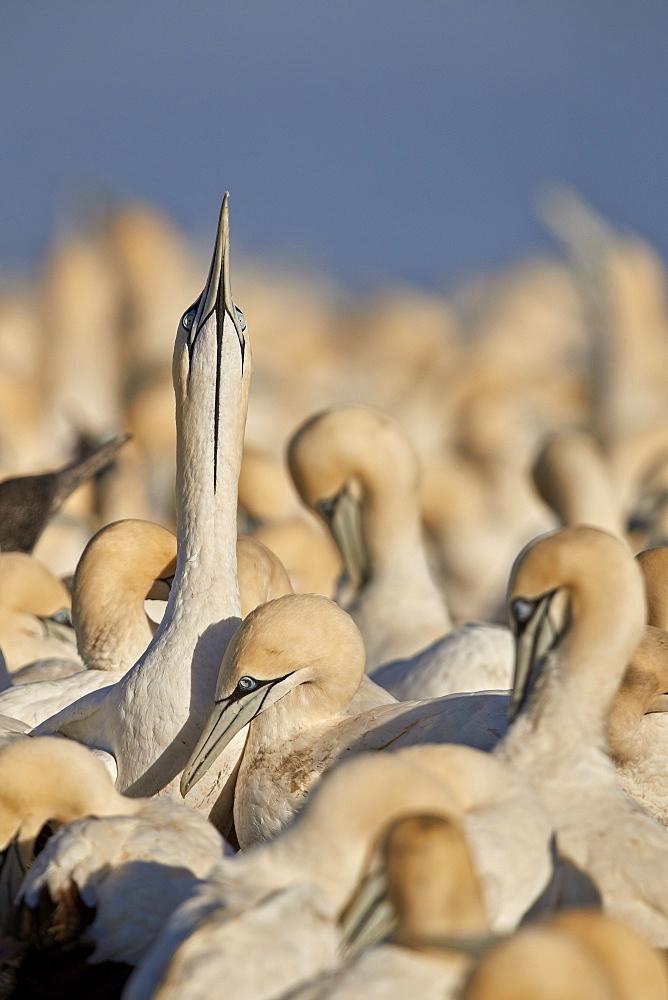 Cape Gannet (Morus capensis) displaying, Bird Island, Lambert's Bay, South Africa