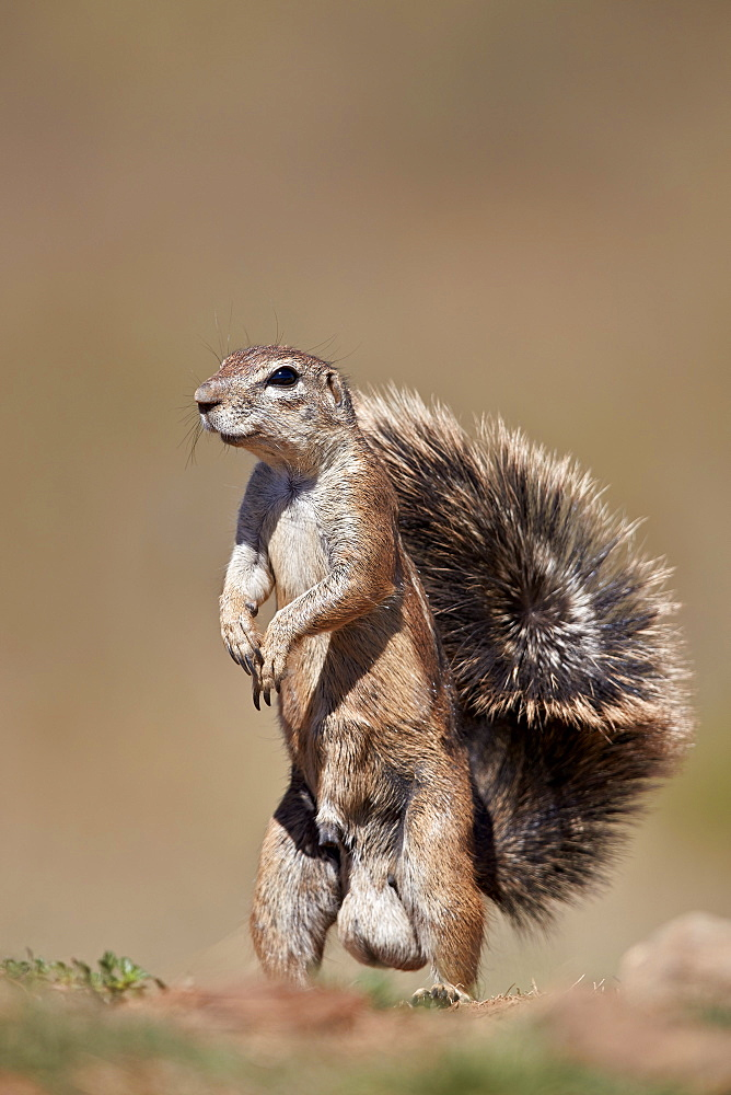 Cape Ground Squirrel (Xerus inauris), male, Mountain Zebra National Park, South Africa