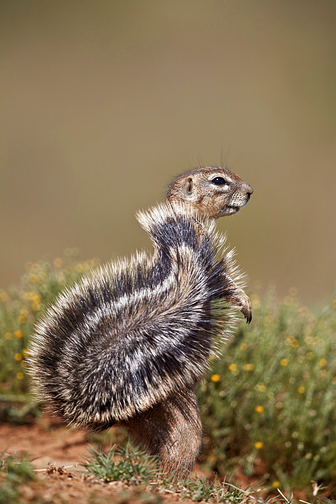 Cape Ground Squirrel (Xerus inauris), Mountain Zebra National Park, South Africa, Africa