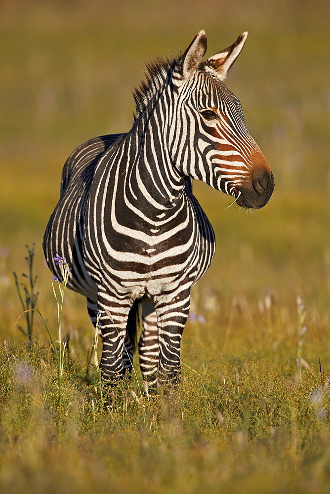 Cape Mountain Zebra (Equus zebra zebra), pregnant female, Mountain Zebra National Park, South Africa, Africa