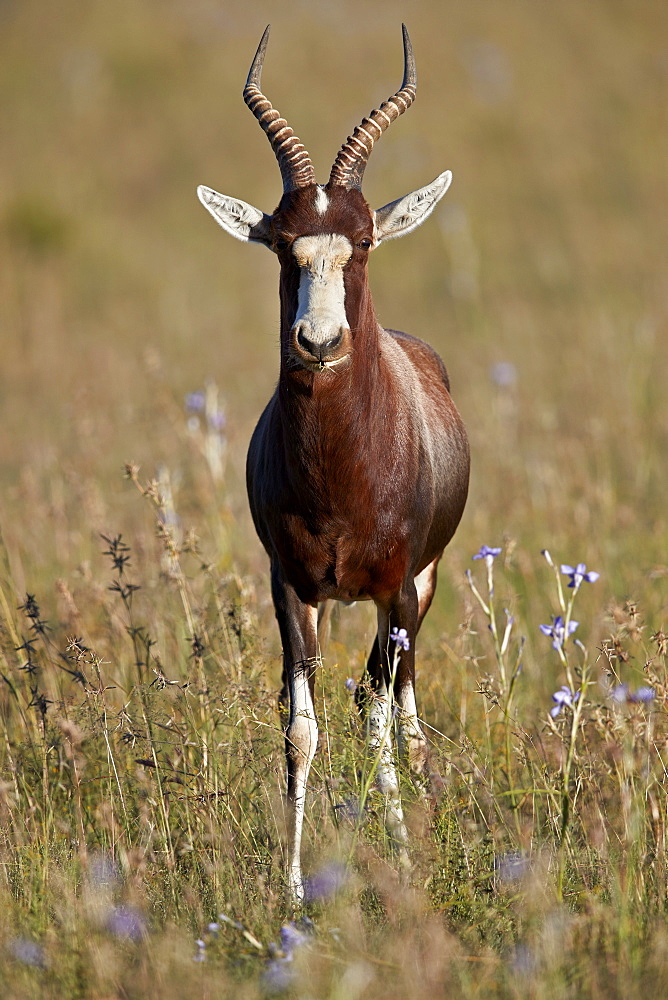Blesbok (Damaliscus pygargus phillipsi), male, Mountain Zebra National Park, South Africa, Africa