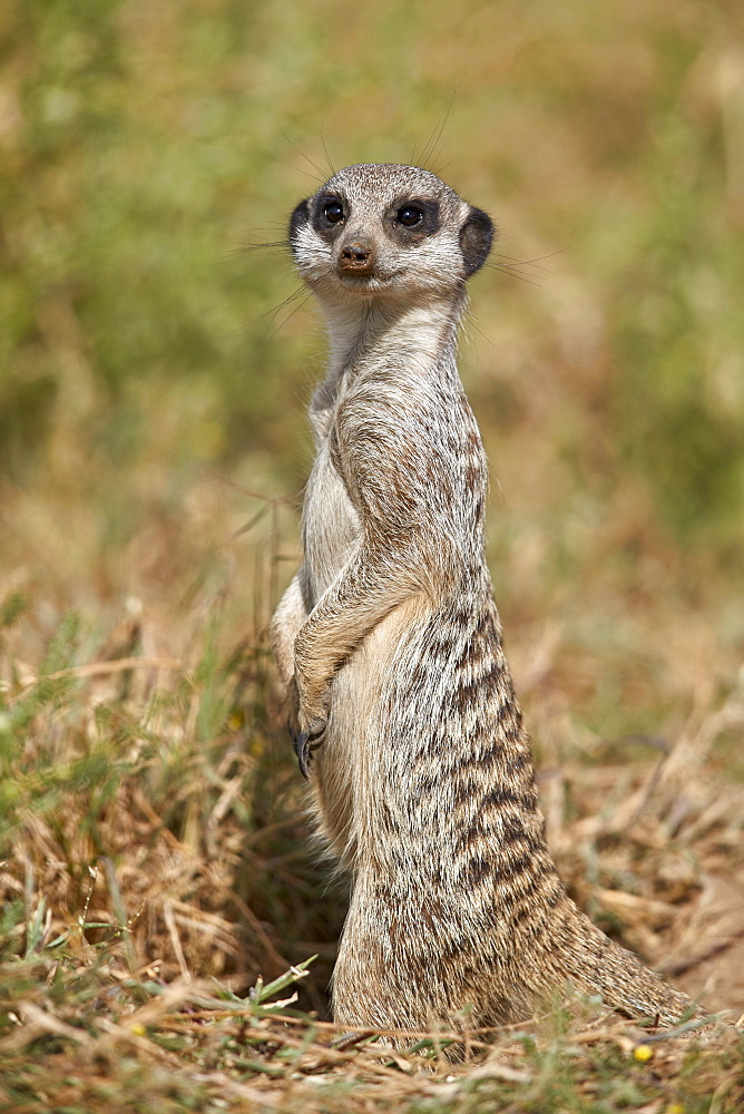 Meerkat (Suricate) (Suricata suricatta), Mountain Zebra National Park, South Africa, Africa