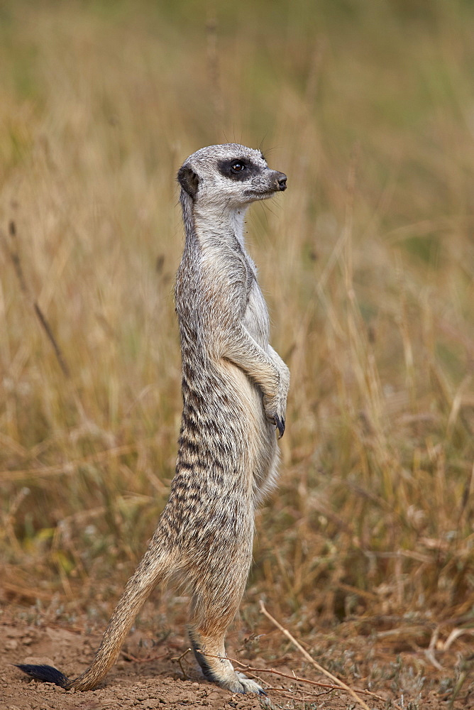 Meerkat or Suricate (Suricata suricatta), Mountain Zebra National Park, South Africa