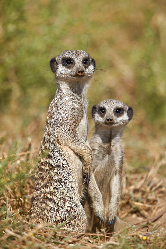 Two Meerkat or Suricate (Suricata suricatta), Mountain Zebra National Park, South Africa