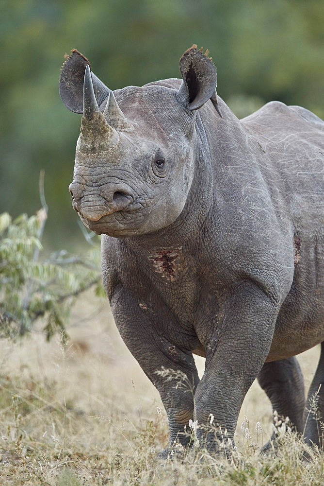Black Rhinoceros (Hook-Lipped Rhinoceros) (Diceros bicornis), Kruger National Park, South Africa, Africa