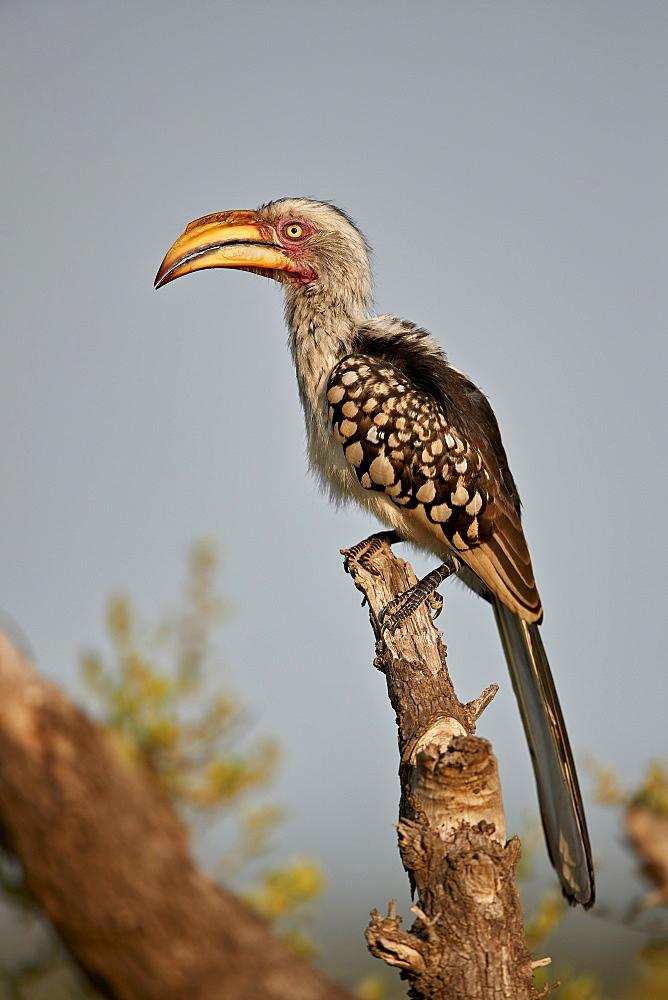 Southern Yellow-Billed Hornbill (Tockus leucomelas), Kruger National Park, South Africa