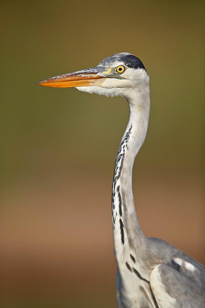 Gray Heron (Grey Heron) (Ardea cinerea), Kruger National Park, South Africa, Africa