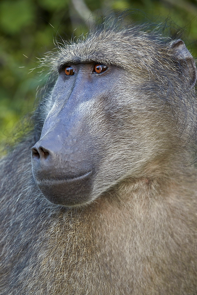 Chacma Baboon (Papio ursinus), Kruger National Park, South Africa