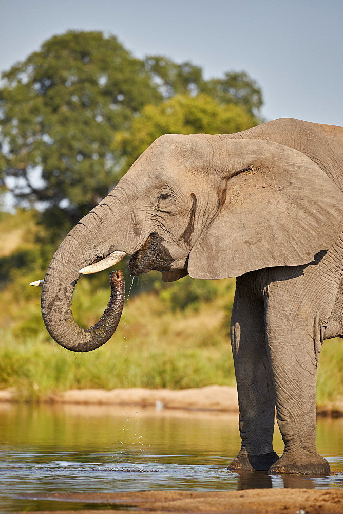 African Elephant (Loxodonta africana) drinking, Kruger National Park, South Africa