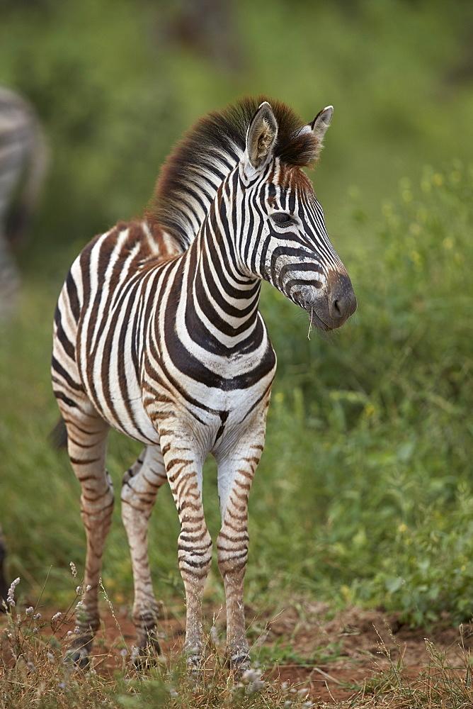 Chapman's Zebra (Plains Zebra) (Equus quagga chapmani) foal, Kruger National Park, South Africa, Africa