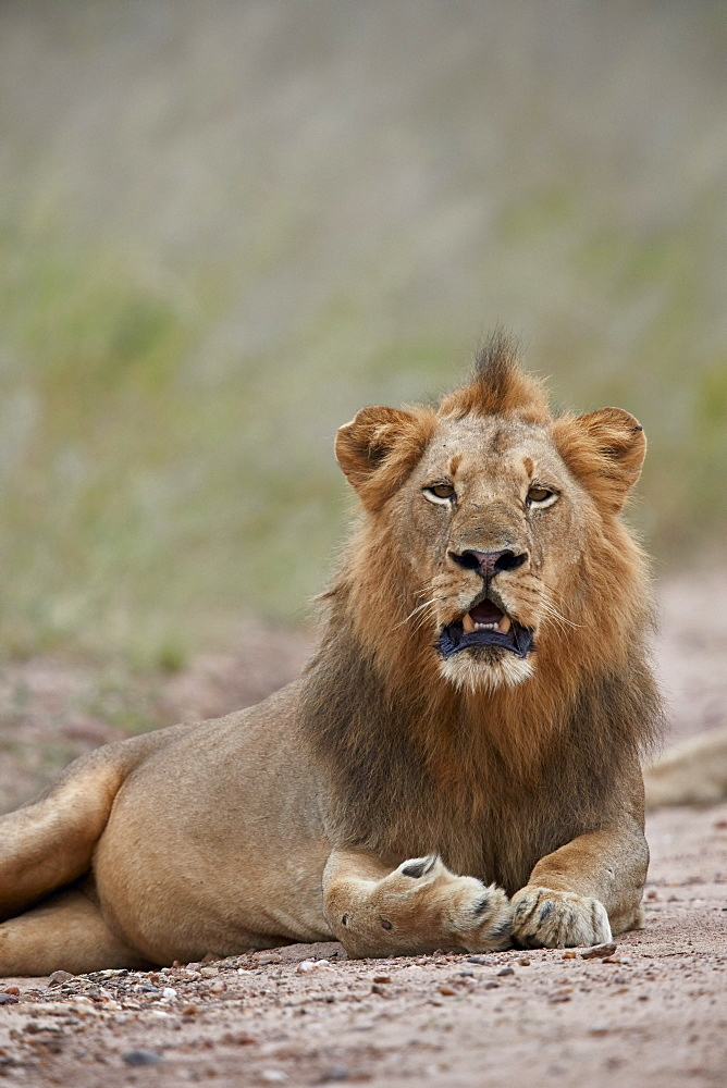 Lion (Panthera leo), male, Kruger National Park, South Africa, Africa