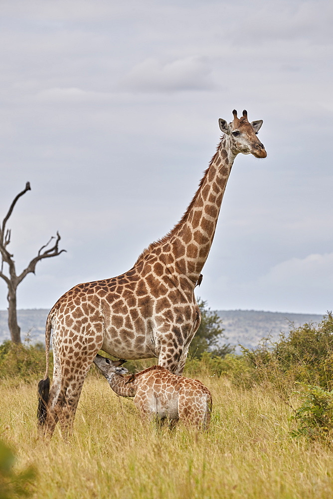 Cape Giraffe (Giraffa camelopardalis giraffa) baby nursing, Kruger National Park, South Africa, Africa