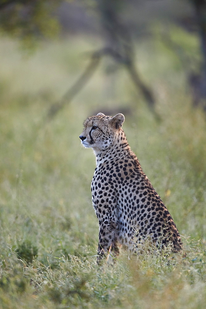 Cheetah (Acinonyx jubatus), Kruger National Park, South Africa - 764-6118