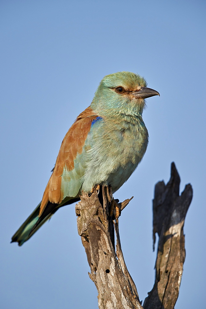 European Roller (Coracias garrulus), Kruger National Park, South Africa - 764-6122