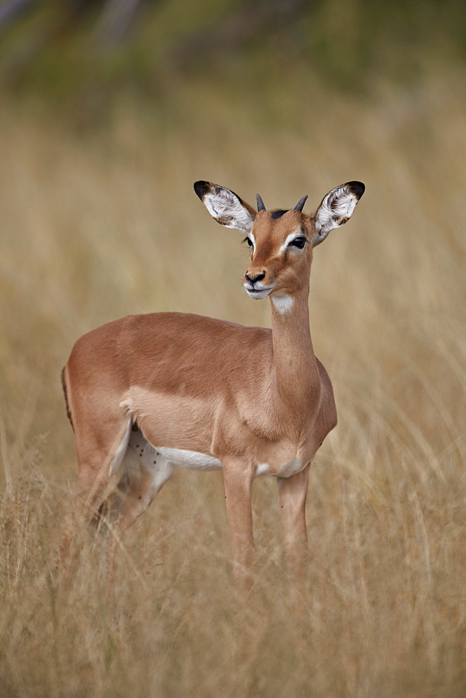 Impala (Aepyceros melampus), juvenile male, Kruger National Park, South Africa, Africa - 764-6125