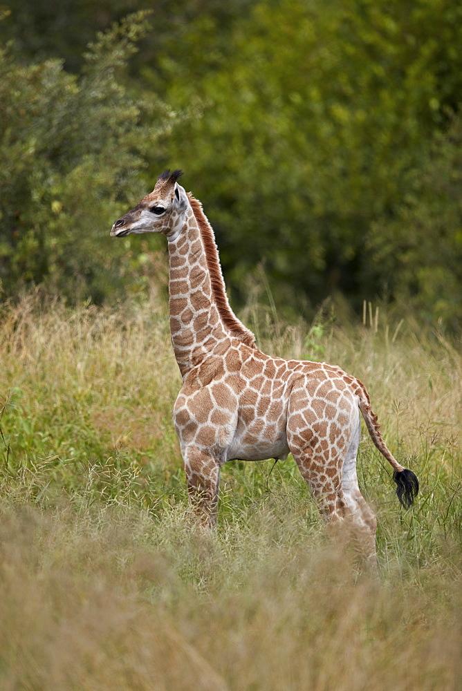 Baby Cape Giraffe (Giraffa camelopardalis giraffa), Kruger National Park, South Africa, Africa