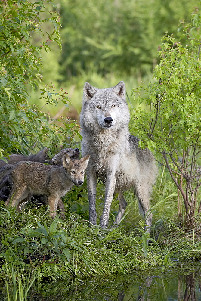 Gray wolf (Canis lupus) adult and pups, in captivity, Sandstone, Minnesota, United States of America, North America - 764-614