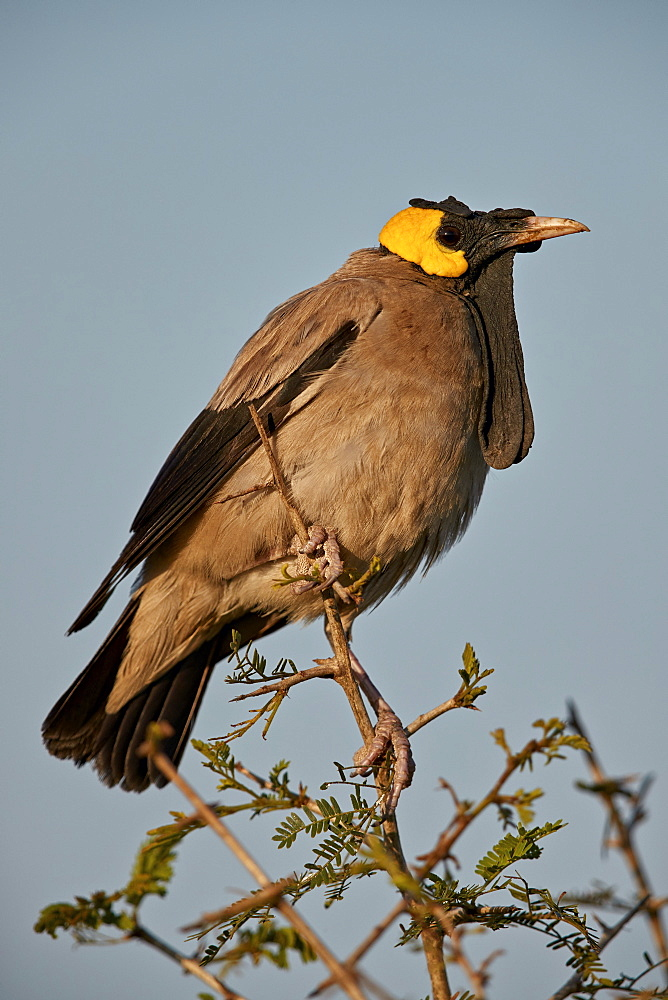 Wattled Starling (Creatophora cinerea), male in breeding plumage, Kruger National Park, South Africa - 764-6147